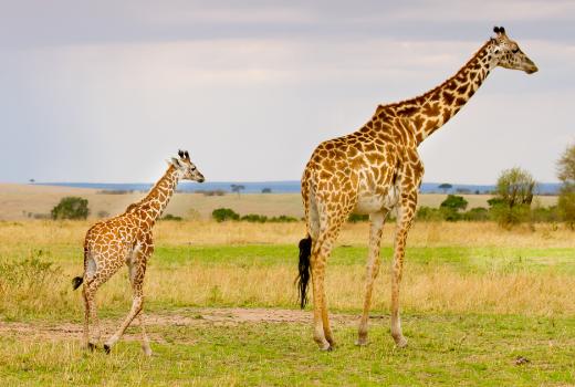Giraf Wild Van Freek